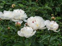 Fresh white peonies. Blooming white peony in garden. The peony or paeony is a flowering plant in the genus Paeonia, the only genus in the family Paeoniaceae royalty free stock photos