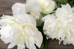 Fresh white Peonies. Royalty Free Stock Photography