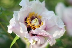 Fresh White Pink Peony Flowers Spring in Garden Park Outdoor royalty free stock photos