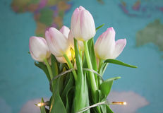 Fresh white and pink tulip on the planet map background Stock Photos