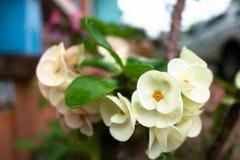 Fresh white Poi Sian flower after rain. Fresh white Poi Sian flowers after rain Royalty Free Stock Images