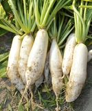Fresh white radish in field Royalty Free Stock Image