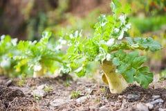 Fresh white radish in garden. Vegetable Stock Photos