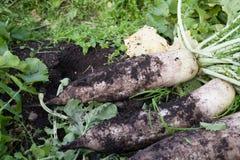 Fresh white radish. With soil in organic farm Royalty Free Stock Image