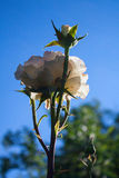 Fresh white rose against a sky background in rain drops Royalty Free Stock Photography