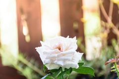 White rose with drop water. Fresh of white rose with drop water , freshy in love Stock Images