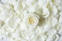 Fresh white rose flower on white rose petales Stock Photo