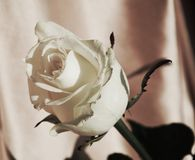 Fresh white rose, symbol of sincerity royalty free stock photo