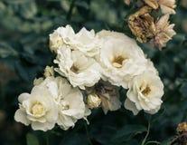 Fresh white roses flower Stock Image