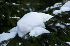 Fresh white snow on a dark green spruce tree Royalty Free Stock Images
