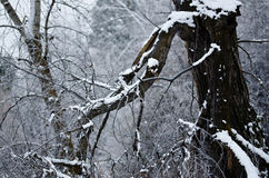 Fresh White Snow Resting on the Old Winter Tree Royalty Free Stock Photography