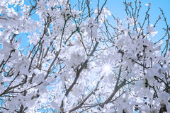 Fresh white spring blossoms covering trees, view from underneath Stock Photo