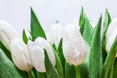 Fresh white tulip bouquet with water drops close-up on white background. Spring Royalty Free Stock Images