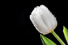Fresh white tulip with water drops close-up on black background. Royalty Free Stock Images