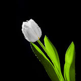 Fresh white tulip with water drops close-up on black background. Spring time Royalty Free Stock Photo