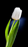 Fresh white tulip with water drops close-up on black background. Stock Image