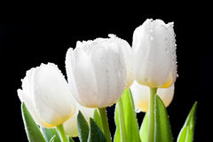 Fresh white tulips on black background Royalty Free Stock Photo