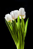 Fresh white tulips on black background Stock Photo