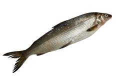 Fresh whitefish. Single fresh whitefish isolated on white background Royalty Free Stock Photo