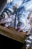 Fresh whole raw Mediterranean sea bass. Or Loup de Mer kept chilled and fresh in a crate of ice ready to be prepared for a delicious seafood meal Royalty Free Stock Image