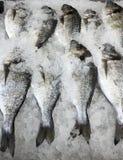 Fresh Whole Tilapia Fish Stock Images