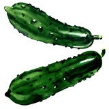 Fresh whole two cucumbers isolated, green vegetable, watercolor illustration on white Stock Image