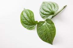 Fresh wild betel Leaf bush Royalty Free Stock Photography