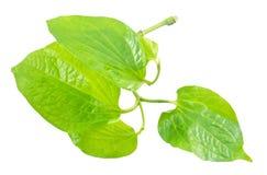Fresh Wild Betel Leafbush on White Background Stock Photography