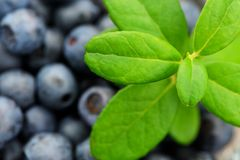 Fresh wild blueberries with green leaves closeup Stock Photos