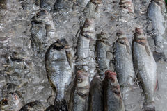 Fresh and wild caught Sea bass and Sea bream Stock Image