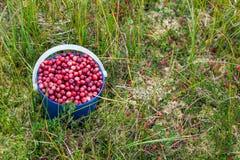 Fresh wild cranberries Stock Image