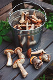Fresh wild edible mushrooms, orande and brown cap gathered in can on wooden bench Stock Photos