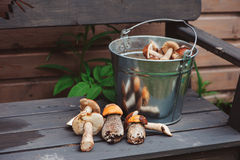Fresh wild edible orange and brown cap boletus mushrooms gathered in can Royalty Free Stock Image