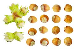 Fresh wild forest hazelnuts Corylus avellana collection isolated on a white background. royalty free stock photos