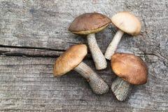 Fresh wild mushrooms (Leccinum scabrum) Royalty Free Stock Photo