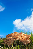 Fresh wild mushrooms under a blue sky Stock Photos