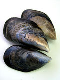 Fresh Wild Mussels. Close-up of three fresh raw wild mussels on white background Stock Photo