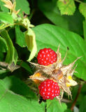 Fresh Wild Rasberries. Ripe red wild berries growing along the road Stock Photography