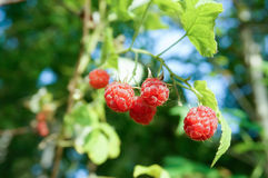 Fresh wild raspberries in forest stock photography