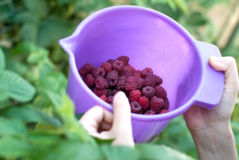 Fresh wild raspberry Royalty Free Stock Image