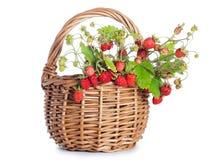 Fresh wild strawberry Stock Image