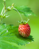 Fresh wild strawberry Stock Photography