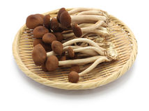 Free Fresh Willow Tea Tree Mushrooms Royalty Free Stock Images - 55073689