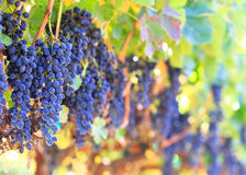 Fresh wine grapes Stock Image