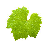 Fresh wine leaf Stock Photos