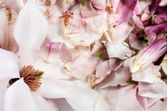 Fresh and withered magnolia flowers Royalty Free Stock Image