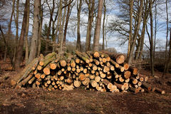 Free Fresh Wood In The Forrest Royalty Free Stock Photo - 13526495