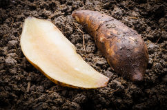 Fresh yacon Root. Cut off on the loose soil Stock Photography