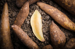 Fresh yacon Root. Cut off on the loose soil Royalty Free Stock Photo