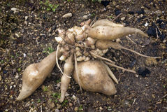 Fresh Yacon roots Stock Images